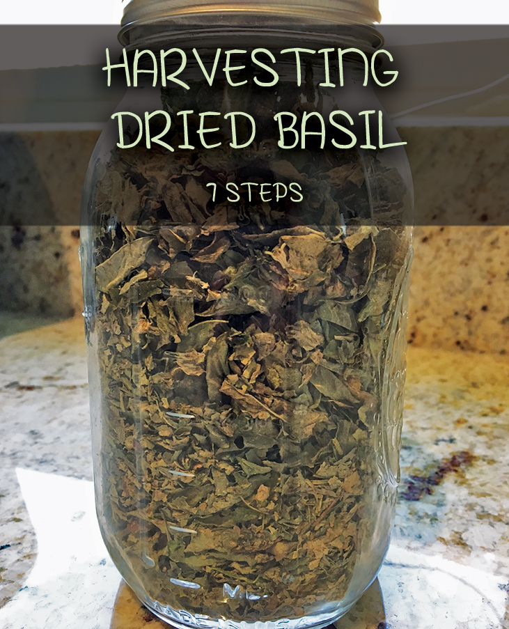 Harvesting Dried/Drying Basil Leaves - 7 Steps