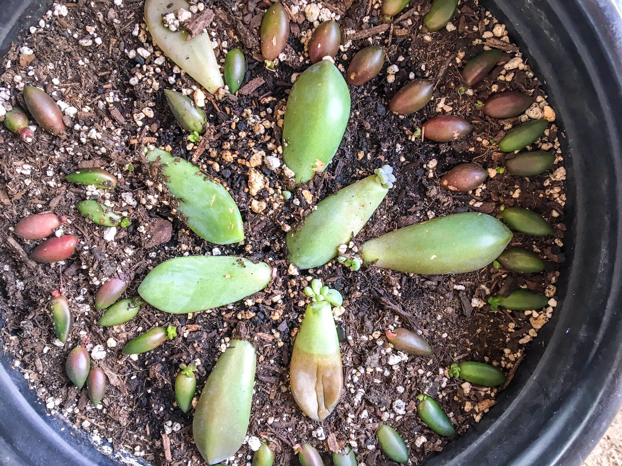 Succulent Leaf Propagation From Leaf (61 Days)
