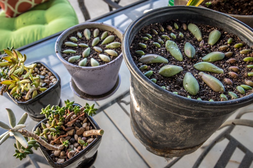 Succulent Propagation with the leaf