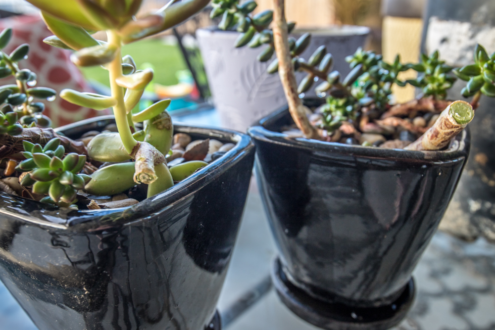 Beheading the Succulents!