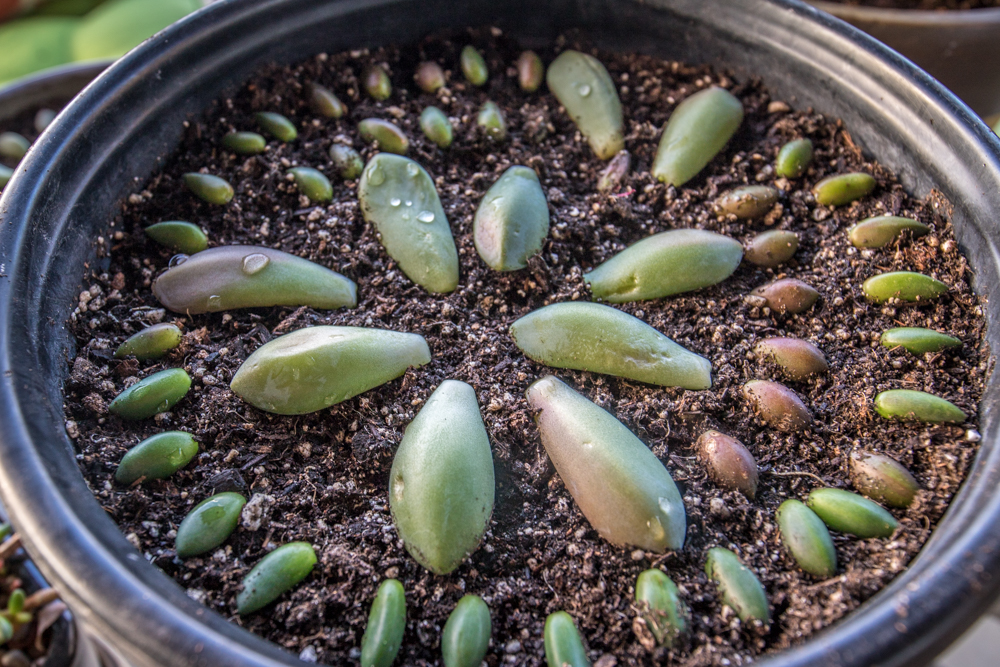 Close-Up Succulent Propagation with the leaf