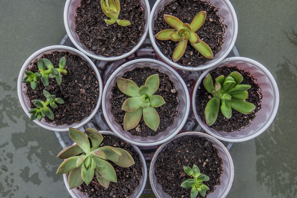 Succulent Beheadings after Transplanting
