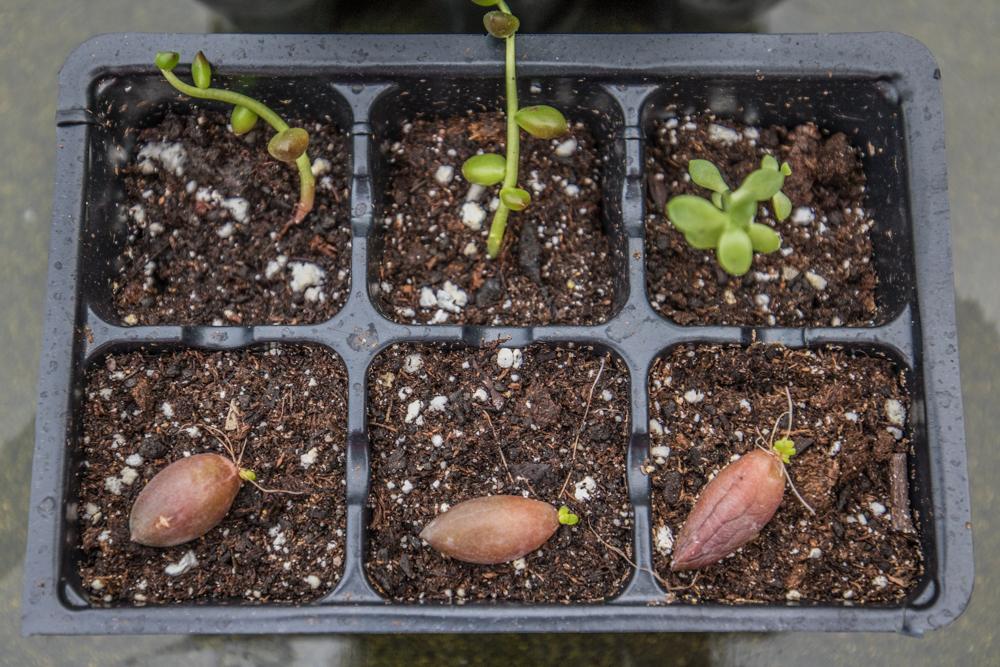 Succulent Leaf Propagation into Seed Start Pots
