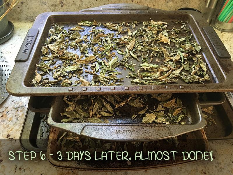 harvesting basil - drying basil