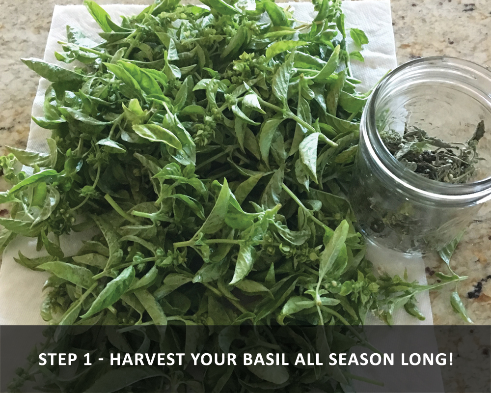 harvesting basil - harvesting all season