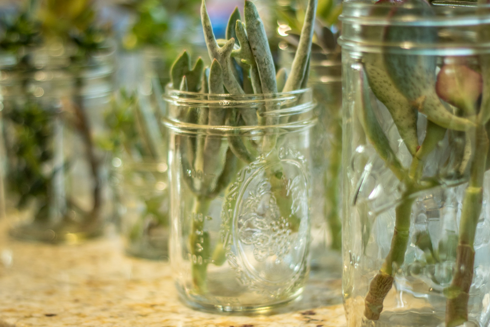 Succulent Propagation Beheadings - Glass Jar