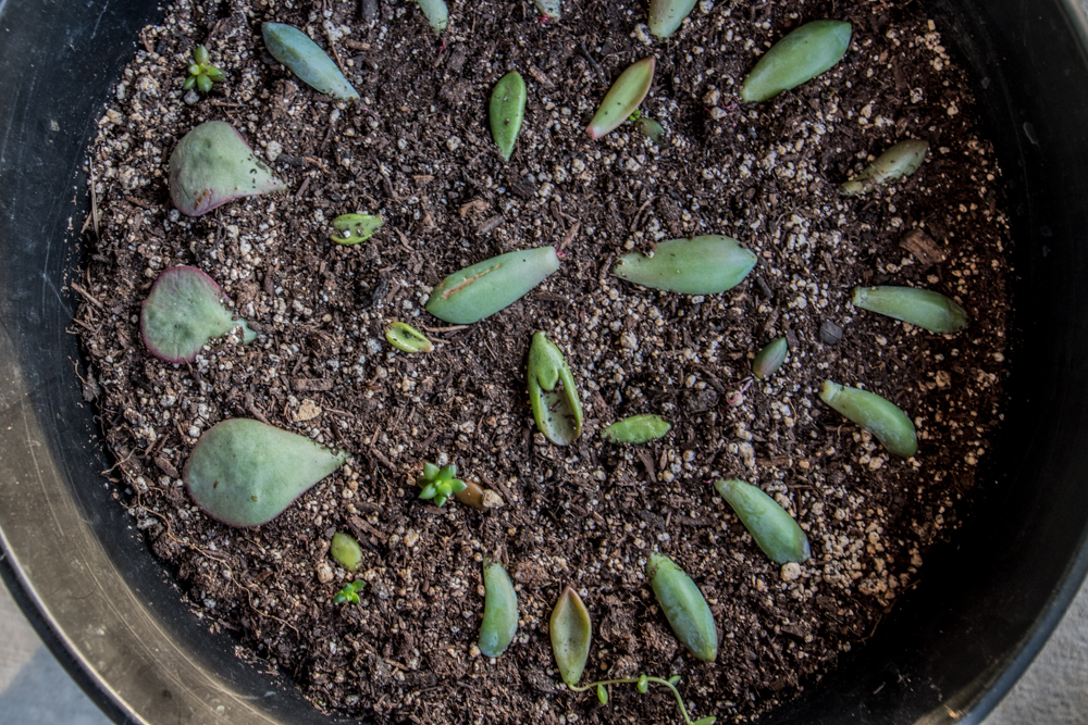 Succulent Leaf Propagation (33 Days After Cutting)