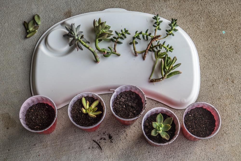 Succulent Beheadings (Transplanting)