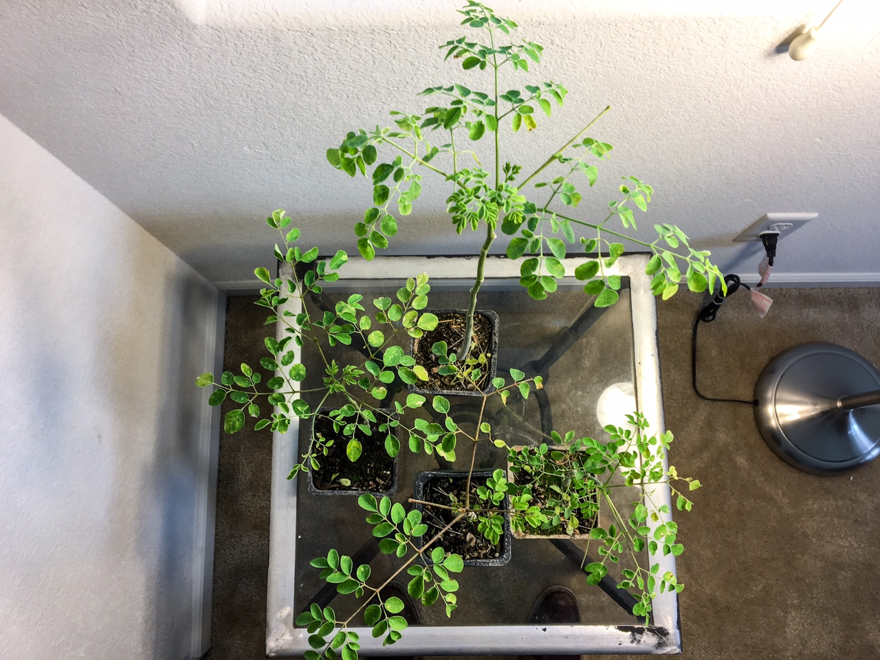 Growing Moringa Tree Indoors Sacramento